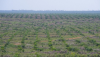 Palm oil plantations for biofuel production threaten tropical rainforest in Kalimantan