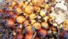 Viel weniger Palmöl ist die Lösung!